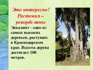 Это интересно! Растения – рекордсмены Эвкалипт - одно из самых высоких дерев