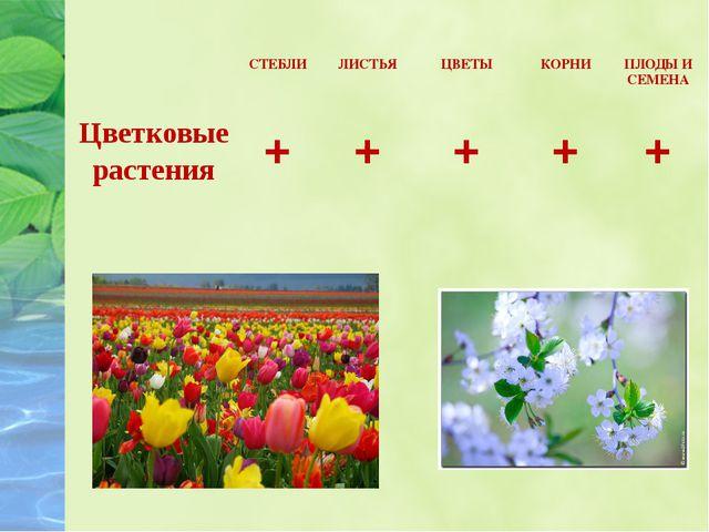 СТЕБЛИ ЛИСТЬЯ ЦВЕТЫ КОРНИ ПЛОДЫ И СЕМЕНА Цветковые растения + + + + +