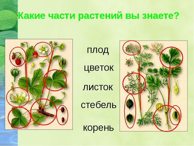 Какие части растений вы знаете? корень стебель листок цветок плод