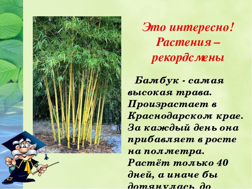 Это интересно! Растения – рекордсмены Бамбук - самая высокая трава. Произрас...