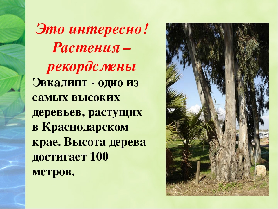 Это интересно! Растения – рекордсмены Эвкалипт - одно из самых высоких дерев...