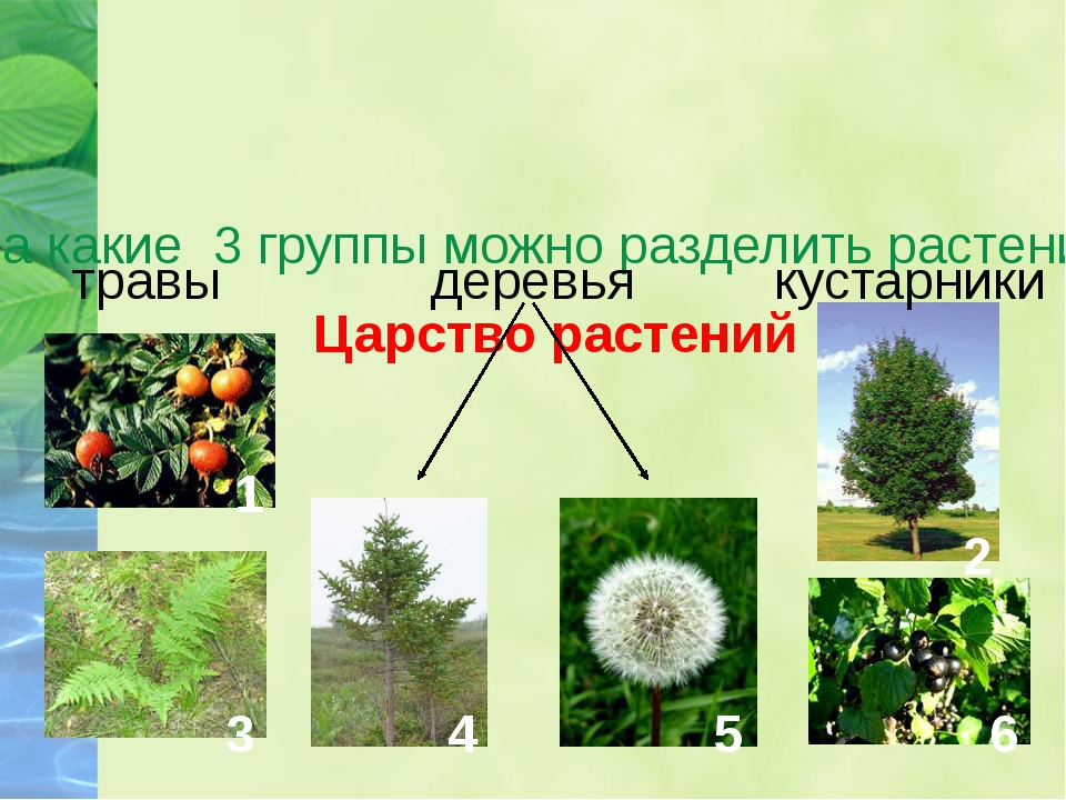 Царство растений На какие 3 группы можно разделить растения? травы кустарники...