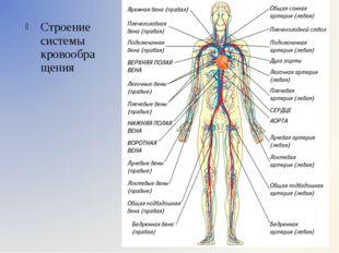 Строение системы кровообращения