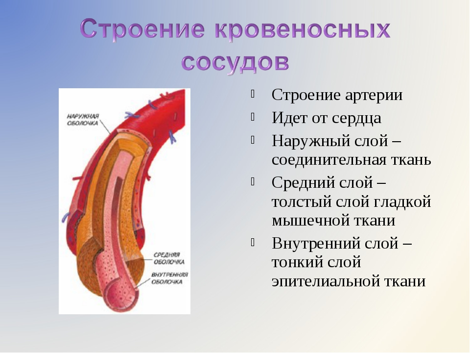 Строение артерии Идет от сердца Наружный слой – соединительная ткань Средний...