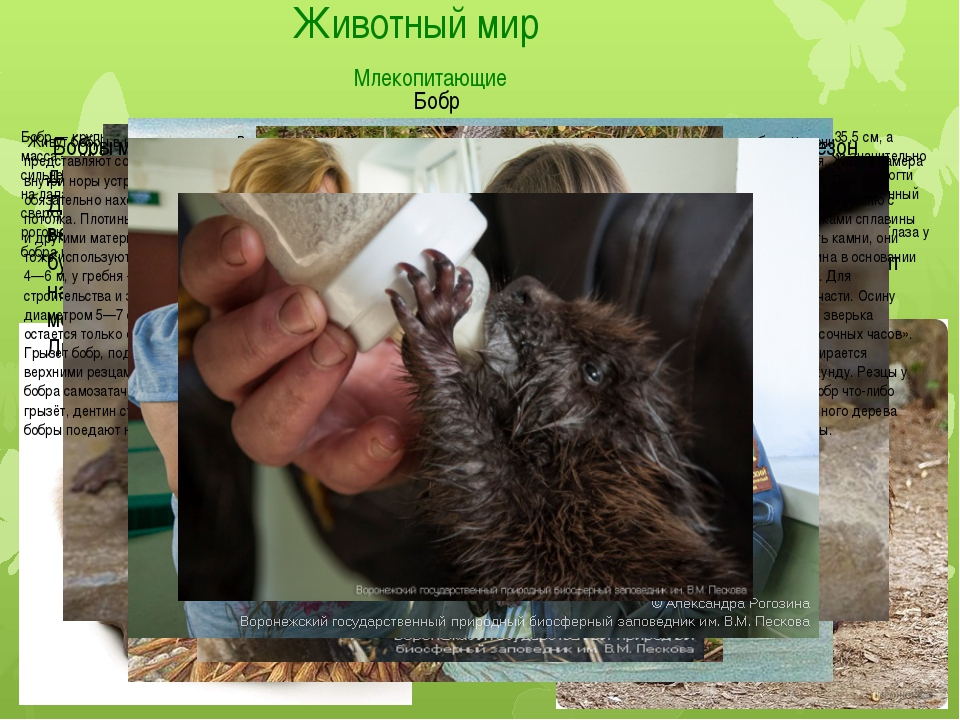 Животный мир Млекопитающие Бобр Бобр — крупный грызун, приспособленный к полу...