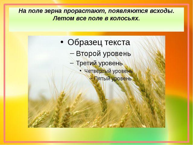 На поле зерна прорастают, появляются всходы. Летом все поле в колосьях.