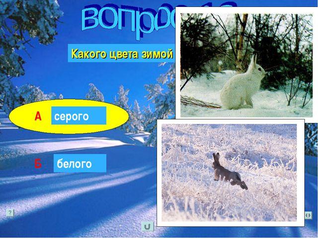 Какого цвета зимой заяц-русак? серого А Б белого