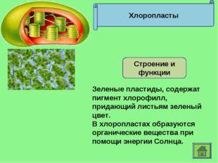 Хлоропласты Строение и функции Зеленые пластиды, содержат пигмент хлорофилл,