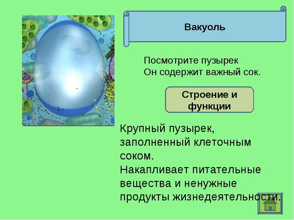 Вакуоль Строение и функции Крупный пузырек, заполненный клеточным соком. Нака...