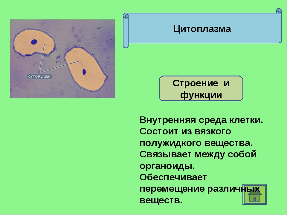 Цитоплазма Строение и функции Внутренняя среда клетки. Состоит из вязкого пол...