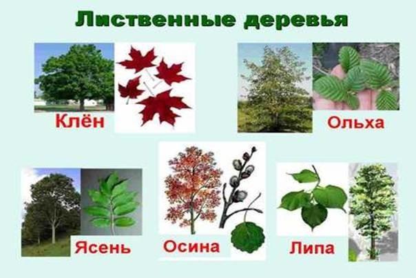 http://zavorota.ru/wp-content/uploads/2013/12/vidy-listvennyh-derevjev.jpg
