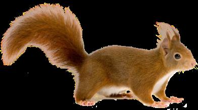 Клипарт Squirrel Белка на прозрачном фоне