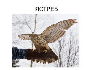 ЯСТРЕБ