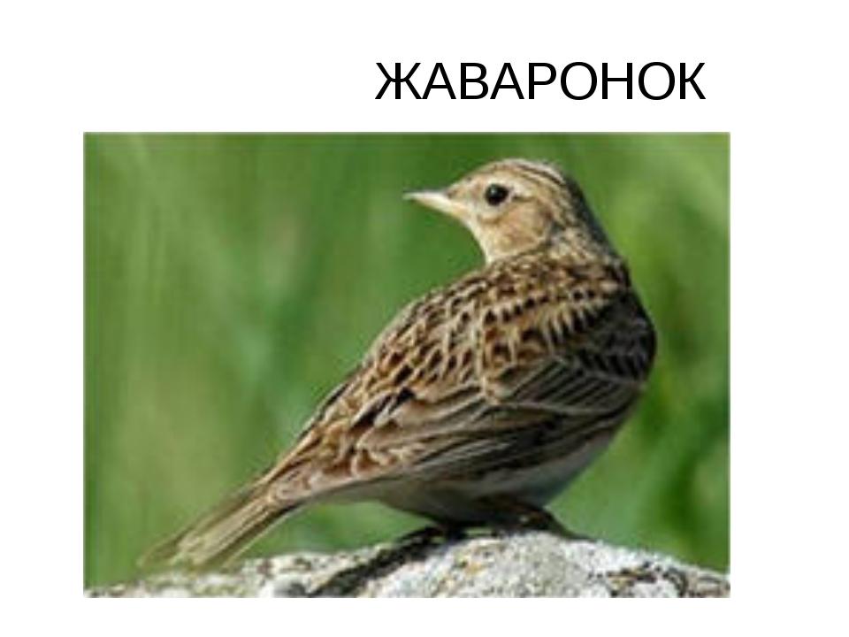 ЖАВАРОНОК