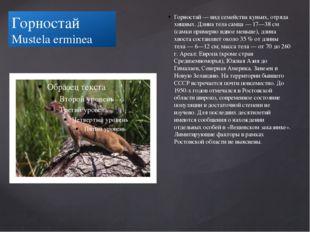 Горностай Mustela erminea Горностай — вид семейства куньих, отряда хищных. Дл