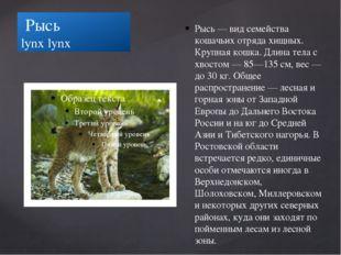 Рысь lynx lynx Рысь — вид семейства кошачьих отряда хищных. Крупная кошка. Д