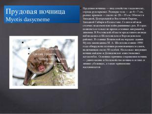 Прудовая ночница Myotis dasycneme Прудовая ночница — вид семейства гладконосы