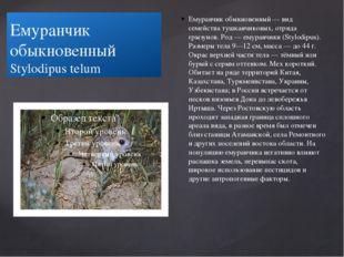 Емуранчик обыкновенный Stylodipus telum Емуранчик обыкновенный — вид семейств