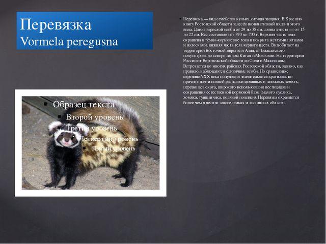 Перевязка Vormela peregusna Перевязка — вид семейства куньих, отряда хищных....