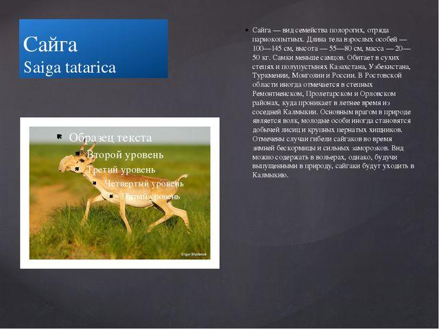 Сайга Saiga tatarica Сайга — вид семейства полорогих, отряда парнокопытных. Д...