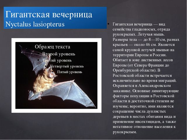 Гигантская вечерница Nyctalus lasiopterus Гигантская вечерница — вид семейств...