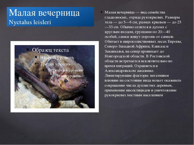 Малая вечерница Nyctalus leisleri Малая вечерница — вид семейства гладконосых...