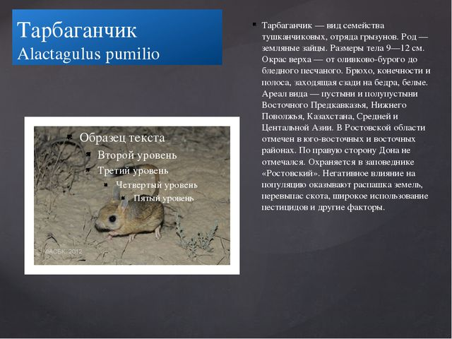 Тарбаганчик Alactagulus pumilio Тарбаганчик — вид семейства тушканчиковых, от...