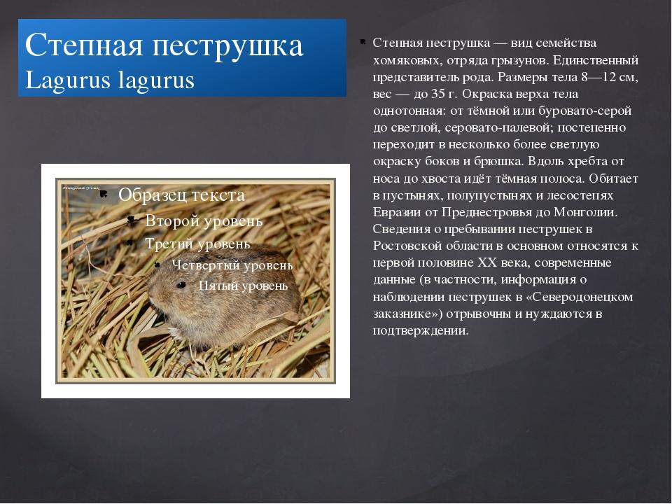 Степная пеструшка Lagurus lagurus Степная пеструшка — вид семейства хомяковых...