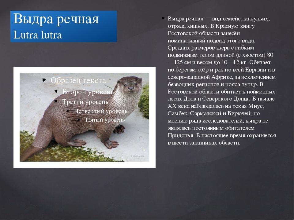 Выдра речная Lutra lutra Выдра речная — вид семейства куньих, отряда хищных....