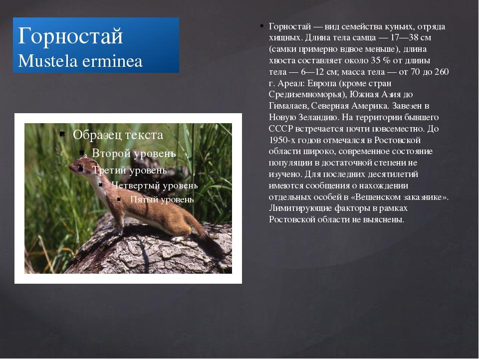 Горностай Mustela erminea Горностай — вид семейства куньих, отряда хищных. Дл...