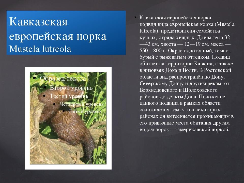 Кавказская европейская норка Mustela lutreola Кавказская европейская норка —...