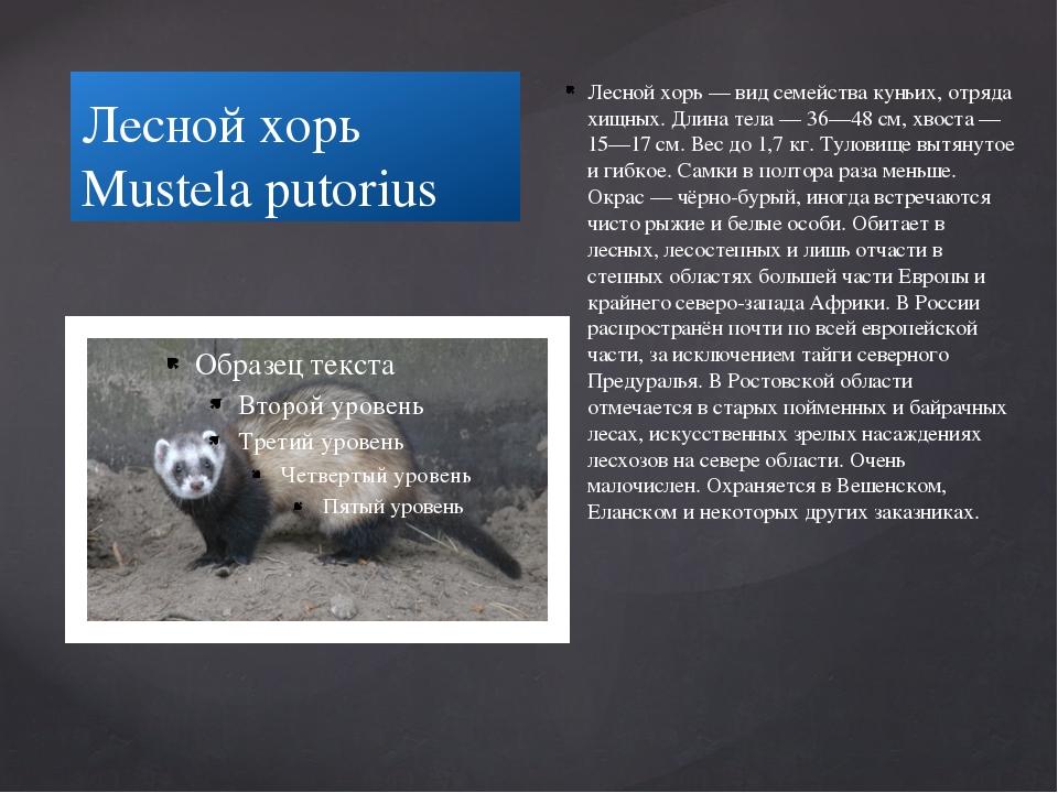 Лесной хорь Mustela putorius Лесной хорь — вид семейства куньих, отряда хищны...