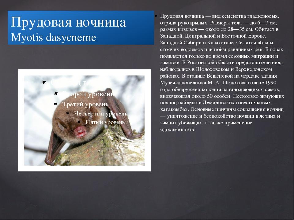 Прудовая ночница Myotis dasycneme Прудовая ночница — вид семейства гладконосы...