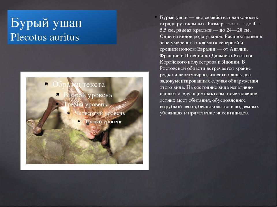 Бурый ушан Plecotus auritus Бурый ушан — вид семейства гладконосых, отряда ру...