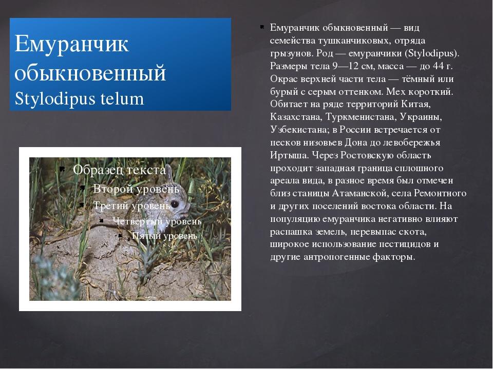 Емуранчик обыкновенный Stylodipus telum Емуранчик обыкновенный — вид семейств...