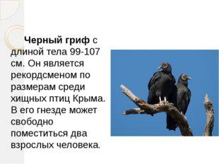 Черный гриф с длиной тела 99-107 см. Он является рекордсменом по размерам ср