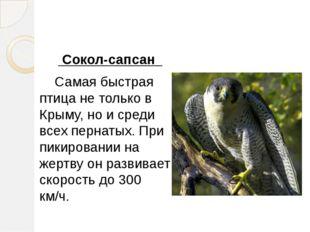 Сокол-сапсан Самая быстрая птица не только в Крыму, но и среди всех пернатых