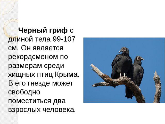 Черный гриф с длиной тела 99-107 см. Он является рекордсменом по размерам ср...