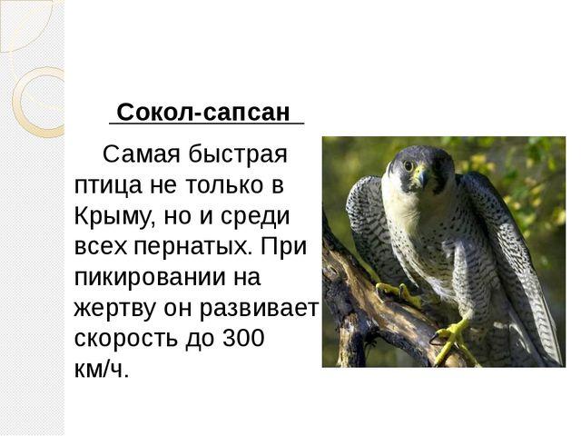 Сокол-сапсан Самая быстрая птица не только в Крыму, но и среди всех пернатых...