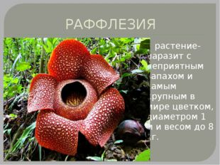 РАФФЛЕЗИЯ растение-паразит с неприятным запахом и самым крупным в мире цветко