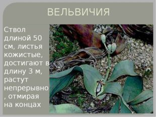 ВЕЛЬВИЧИЯ Ствол длиной 50 см, листья кожистые, достигают в длину 3 м, растут