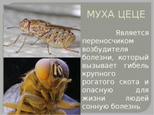 МУХА ЦЕЦЕ Является переносчиком возбудителя болезни, который вызывает гибель