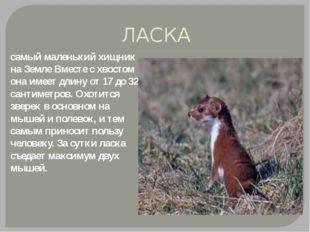 ЛАСКА самый маленький хищник на Земле Вместе с хвостом она имеет длину от 17