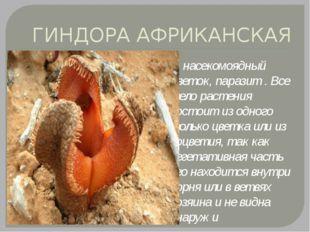 ГИНДОРА АФРИКАНСКАЯ насекомоядный цветок, паразит . Все тело растения состоит