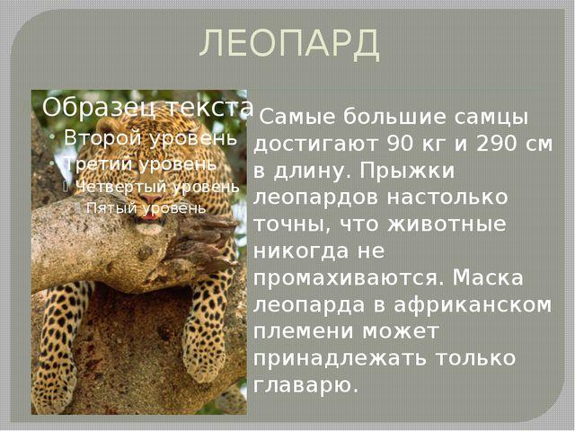 ЛЕОПАРД Самые большие самцы достигают 90 кг и 290 см в длину. Прыжки леопард...