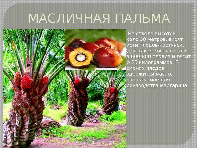 МАСЛИЧНАЯ ПАЛЬМА На стволе высотой около 30 метров, висят кисти плодов-костян...