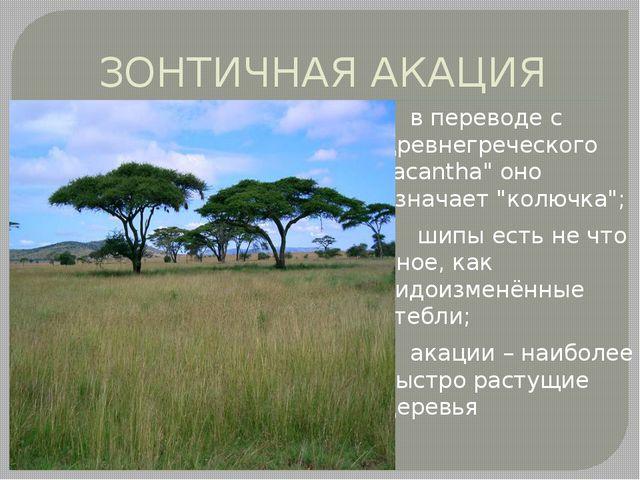 """ЗОНТИЧНАЯ АКАЦИЯ в переводе с древнегреческого """"acantha"""" оно означает """"колючк..."""