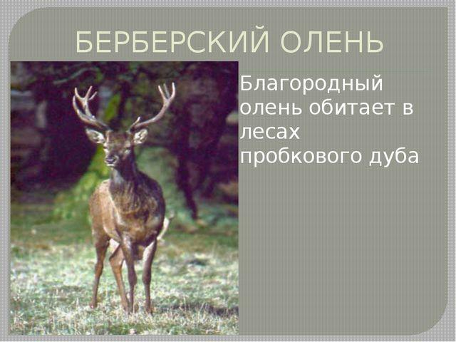 БЕРБЕРСКИЙ ОЛЕНЬ Благородный олень обитает в лесах пробкового дуба