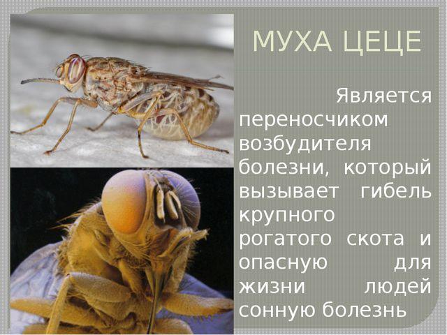 МУХА ЦЕЦЕ Является переносчиком возбудителя болезни, который вызывает гибель...