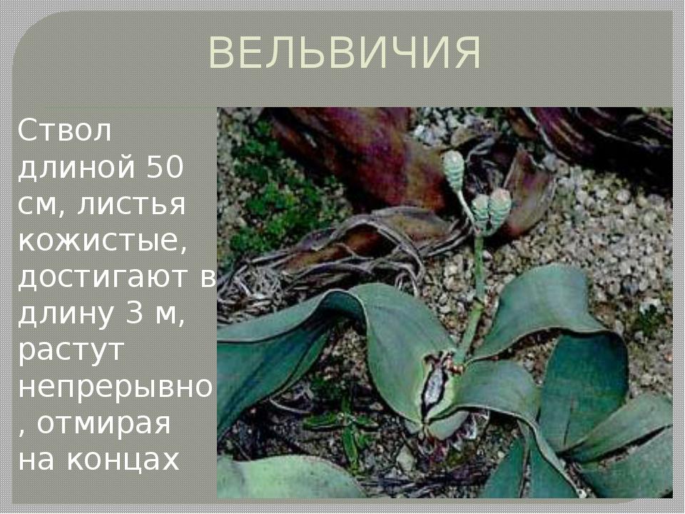 ВЕЛЬВИЧИЯ Ствол длиной 50 см, листья кожистые, достигают в длину 3 м, растут...